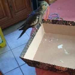 oiseau calopsitte <span class='Perdu_Texte'>PERDU</span> le Mardi 18 Fév. 2020 en France à Bonlier (60510)<br>Déposé le 24-02-2020