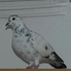 pigeon <span class='Perdu_Texte'>PERDUE</span> le Jeudi 26 Mars 2020 en France à Toulon (83200)<br>Déposé le 29-03-2020
